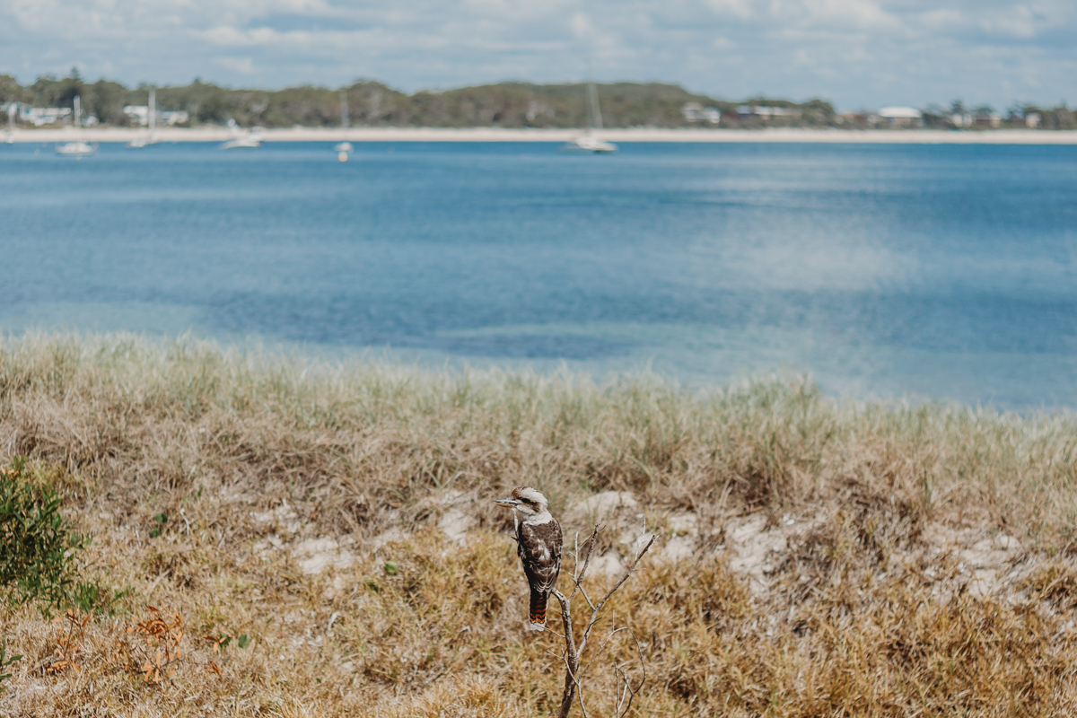Kookaburra on a branch by the beach at Shoal Bay