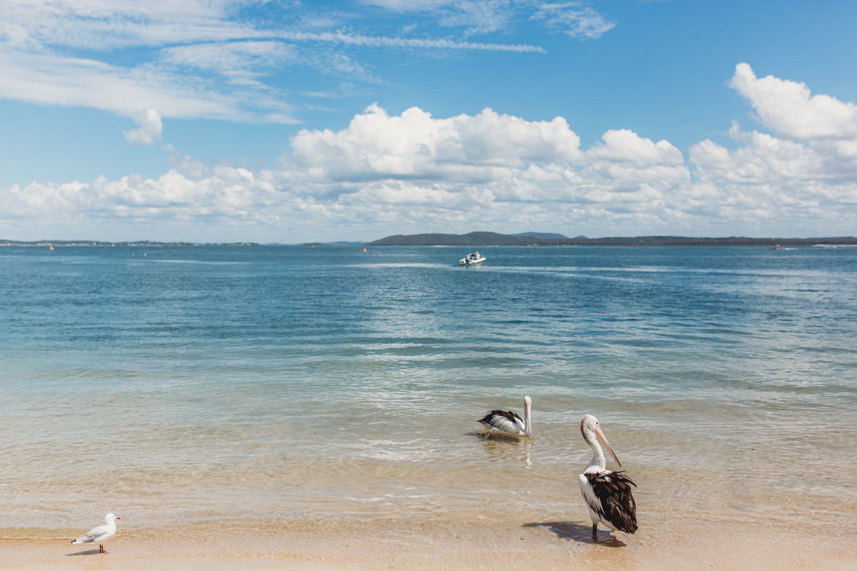 Two pelicans standing in the water at Shoal bay beach