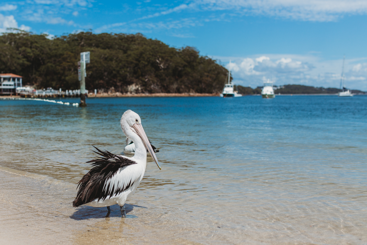 Pelican in the water at Shoal Bay