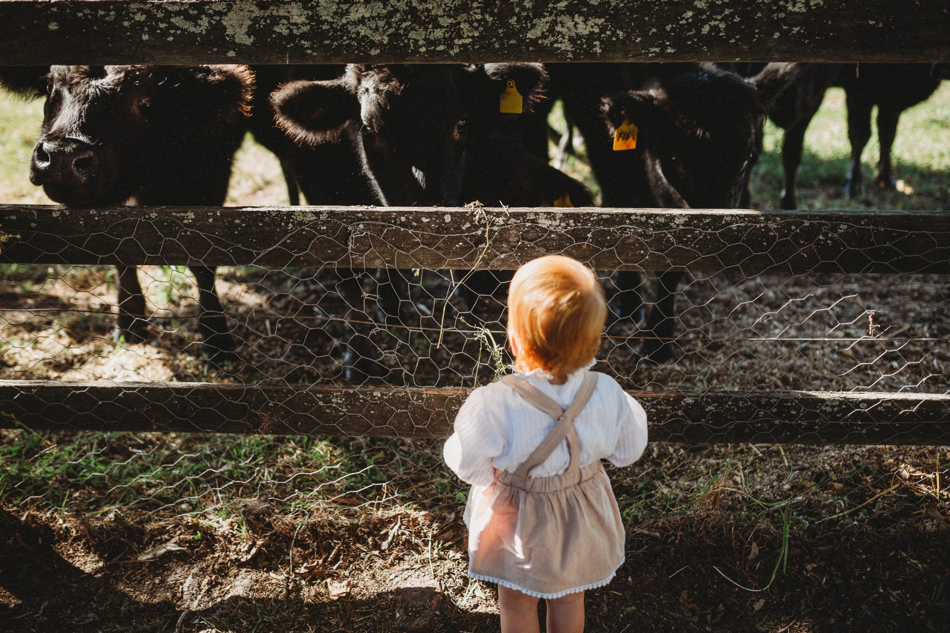 Little girl stands at fence facing group of cows