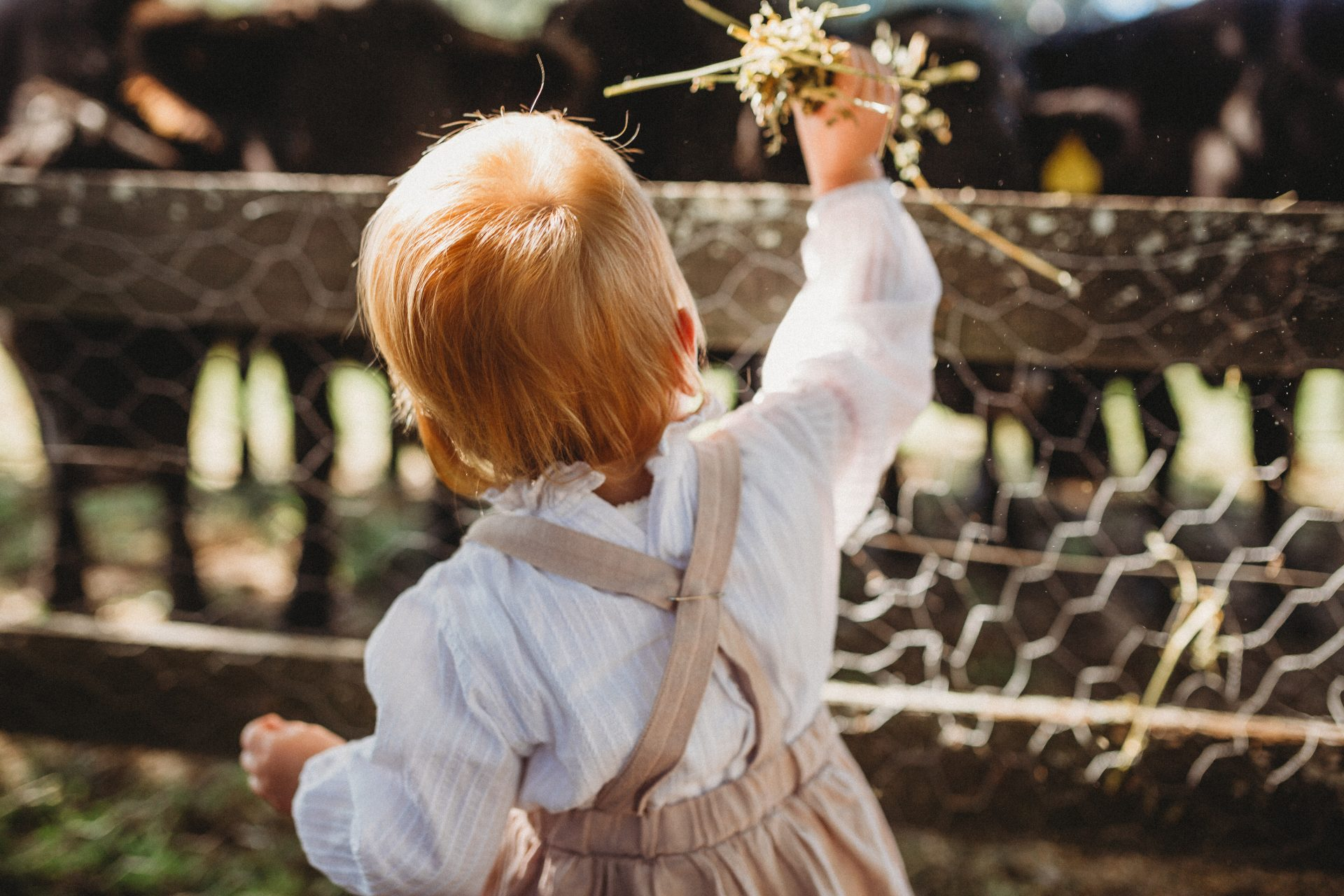 Toddler reaching up to feed cows through a fence